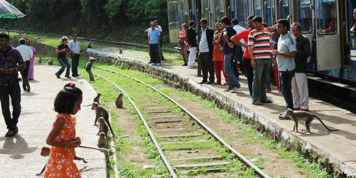 India monkeys