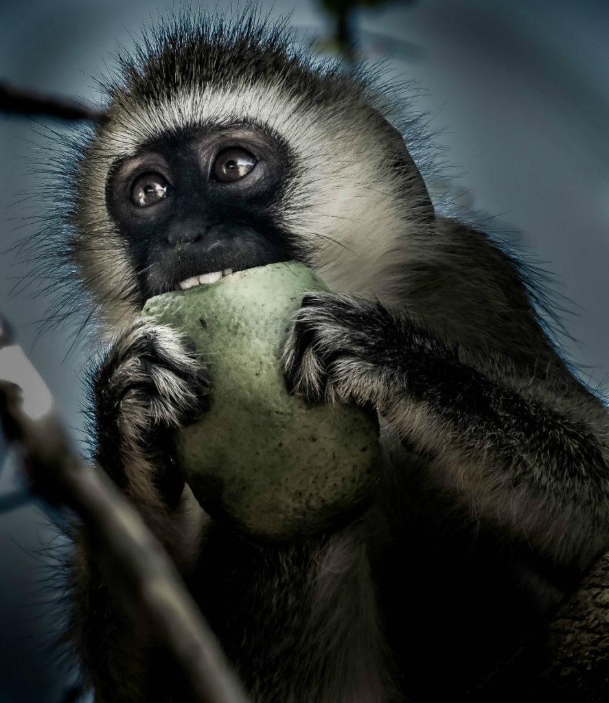 Monkey Africa
