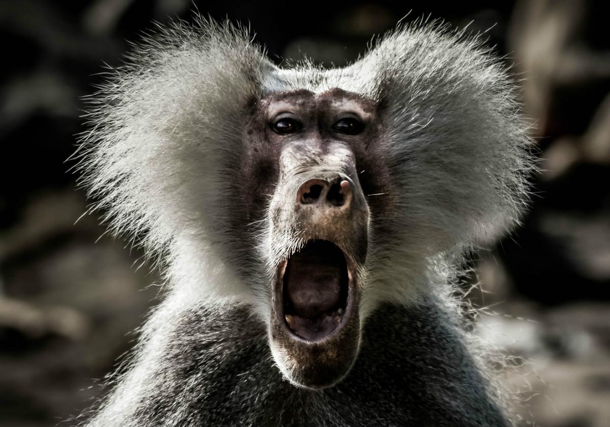 Baboon Africa