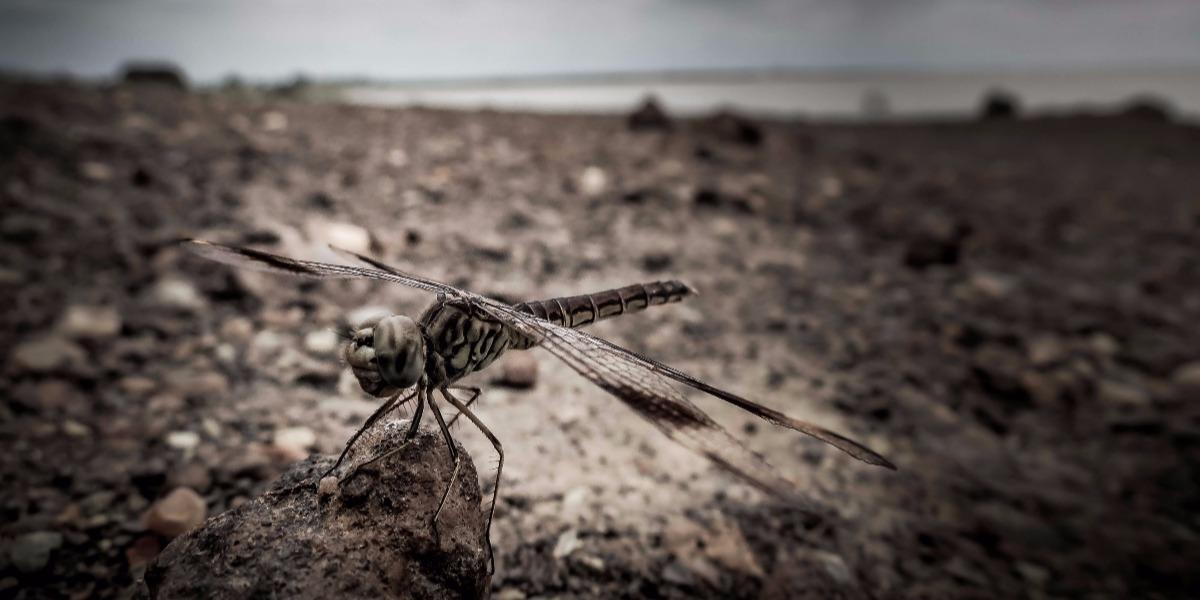 Lake Volta Dragonfly